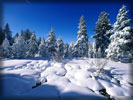 Winter, Snow, Snowy Spruces